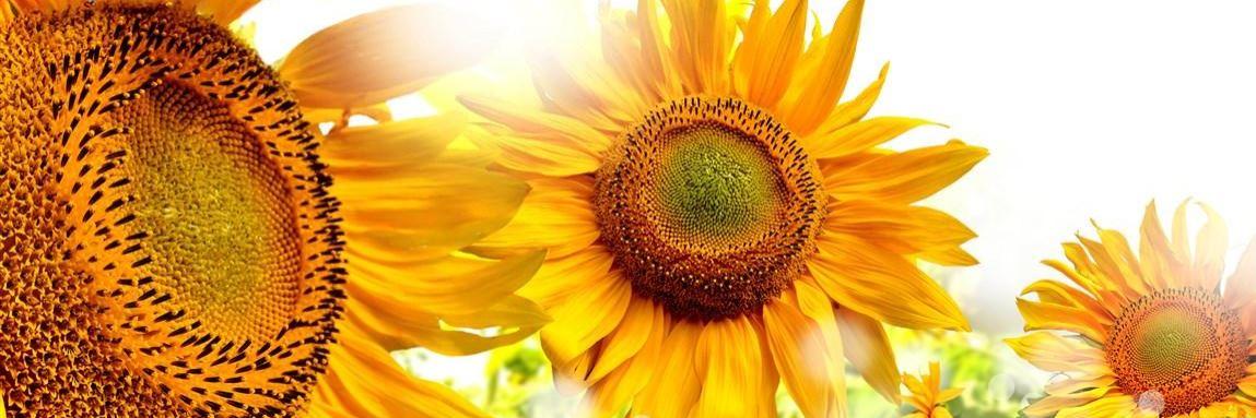 Sonnenblume Konvex7