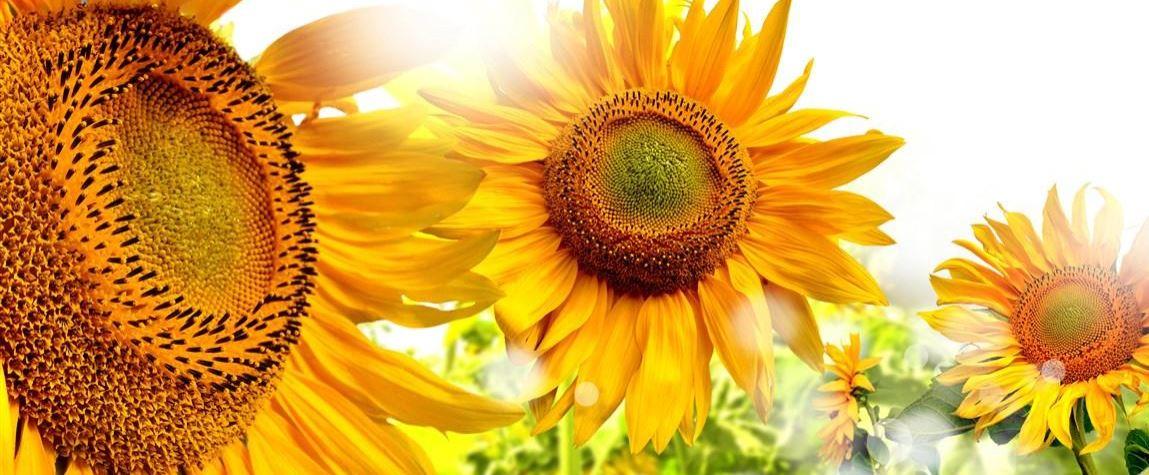 Sonnenblume Konvex8