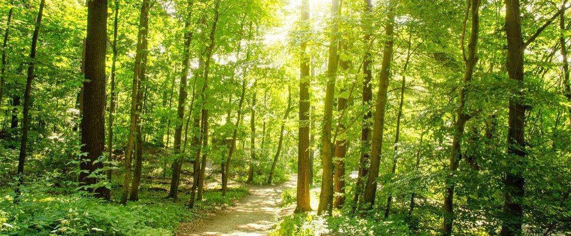 Wald mit Morgensonne Konvex8