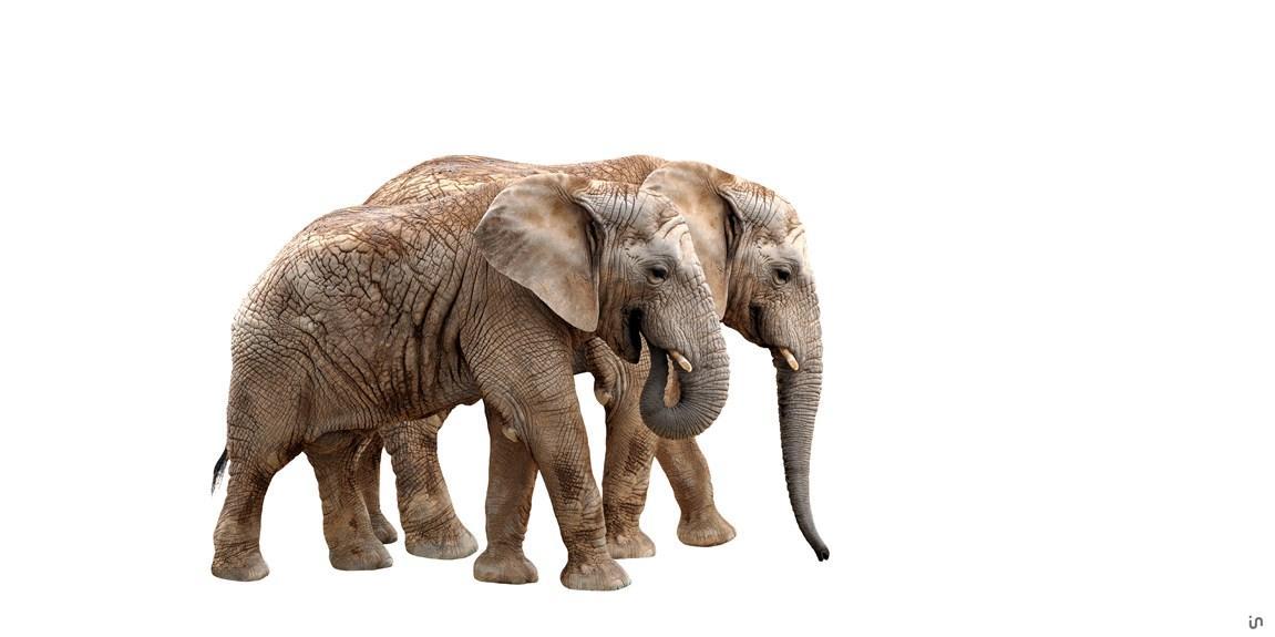 Elefant Konvex11