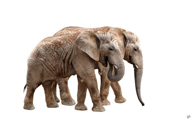 Elefant Konvex6