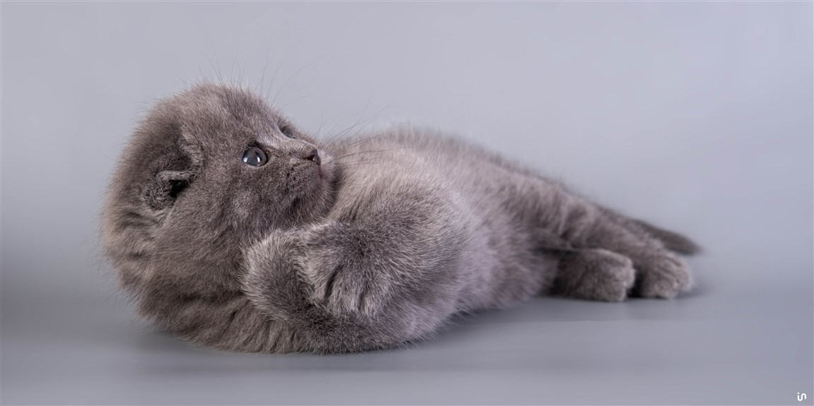 Kitten Blue Konvex11