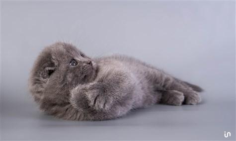 Kitten Blue Konvex2
