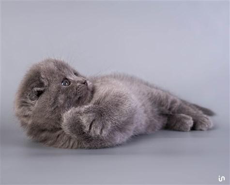 Kitten Blue Konvex3