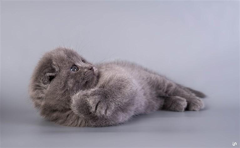Kitten Blue Konvex6