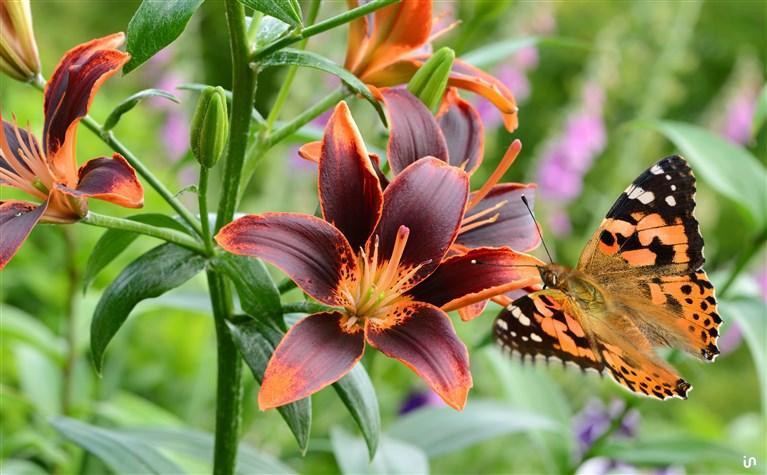 Schmetterling Konvex6