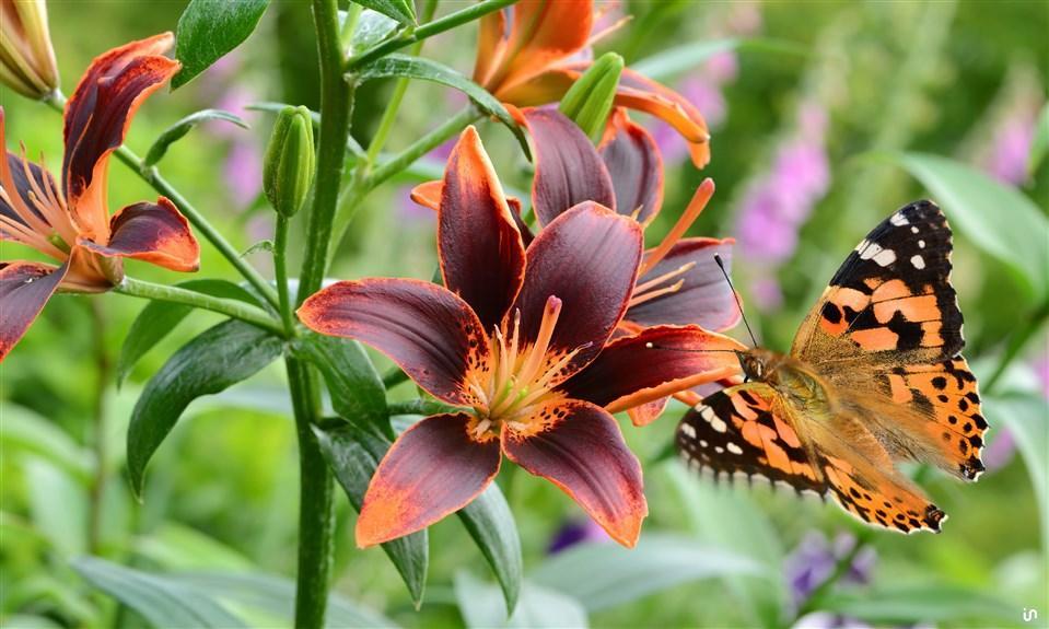 Schmetterling Konvex9